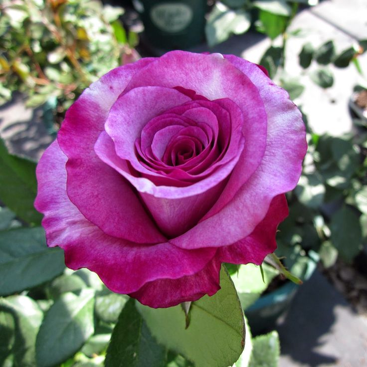 Home and Garden: Fall Rose Care Tips In Winter