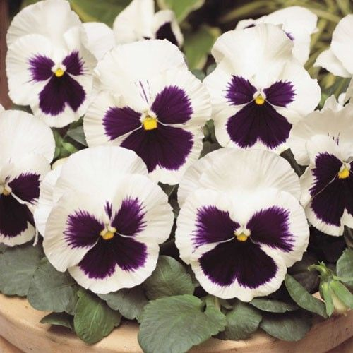 Flowers Similar To Lilies: 19 Best Winter Pansies Images On Pinterest
