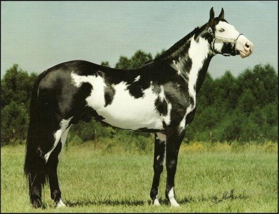 Captain Midnight - Stallion Directory » Change  Captain Midnight  American Paint Horse 1989, Black Frame overo - 16.1 hand