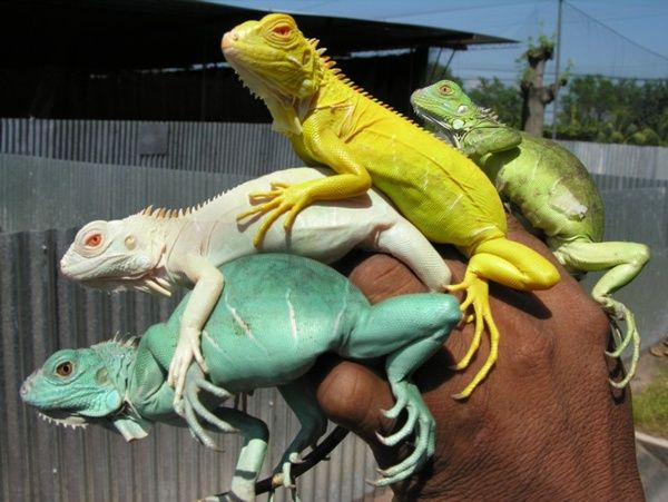 iguanas bred to have different colors