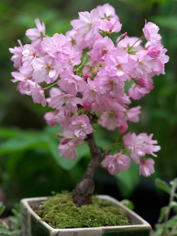 10 Seeds Japanese Sakura Plantas Oriental Cherry Blossom Floresling Bonsai Plant By Street97 Cherry Blossom Bonsai Tree Bonsai Flower Bonsai Cherry Tree