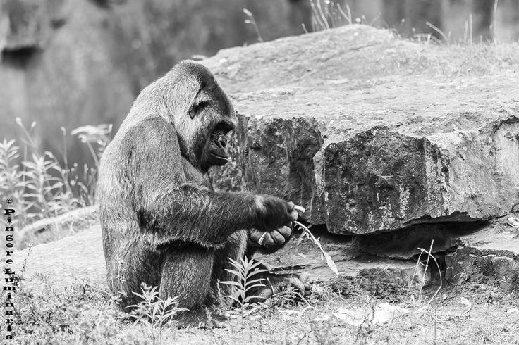"""To eat up !…  """" C'est à travers de larges grilles, Que les femelles du canton, Contemplaient un puissant gorille, Sans souci du qu'en-dira-t-on ; Avec impudeur, ces commères Lorgnaient même un endroit précis Que, rigoureusement, ma mère M'a défendu d' nommer ici. Gare au gorille !… Tout à coup la prison bien close Où vivait le bel animal S'ouvre, on n' sait pourquoi (je suppose Qu'on avait dû la fermer mal) ; Le singe, en sortant de sa cage, Dit : """"C'est aujourd'hui que j'le perds !"""" Il…"""
