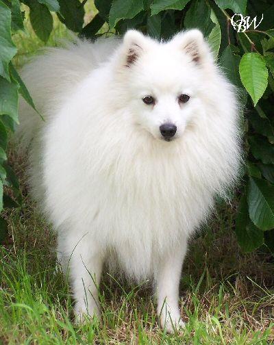chiens-Spitz-japonais