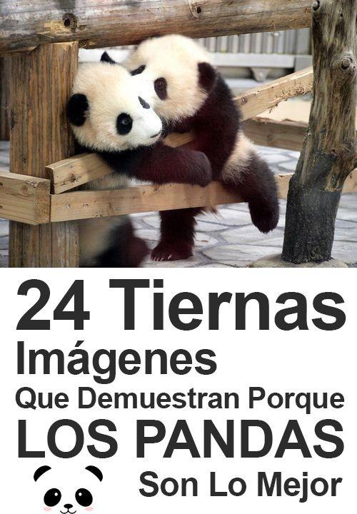 24 Tiernas Imágenes Que Demuestran Porque Los Pandas Son Lo Mejor