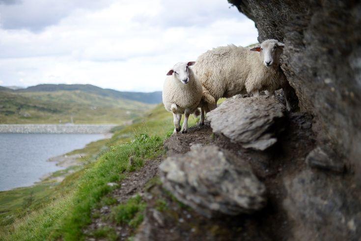 Owce rasy sufflok to wyjątkowej jakości włos. Jest ona niezwykle delikatna w dotyku i puszysta. Swetry z niej szyte są najwyższej i bardzo dobrze służą swym właścicielom. Produkty z wełny to dziś prawdziwy prestiż, a wielu bogatych ludzi bardzo ceni sobie takie wyroby. Wełna alpaka to splendor i świetny gust. Ma świetne właściwości izolacyjne, ale również chłonie promieniowanie słoneczne.