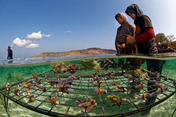 Transplanter des coraux en Indonésie.
