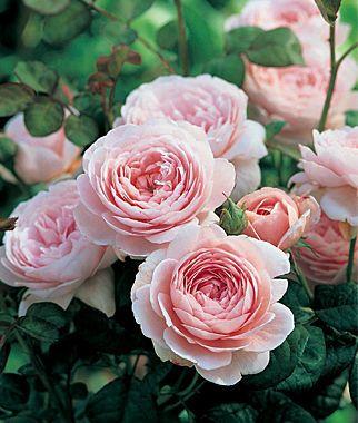 English Rose, Queen of Sweden   http://dabbiesgardenideas.com/buy-roses-online/
