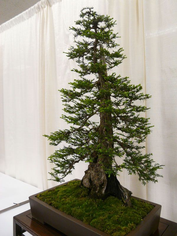 bonsai-redwood-tree-