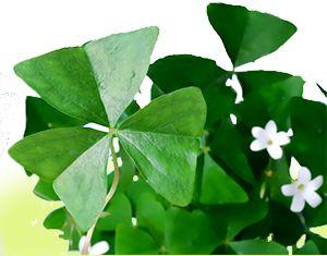 Shamrock houseplants can grow from bulbs corms or rhizomes - Shamrock indoor plant ...