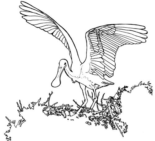1000 images about Spoonbills on Pinterest Seasons John
