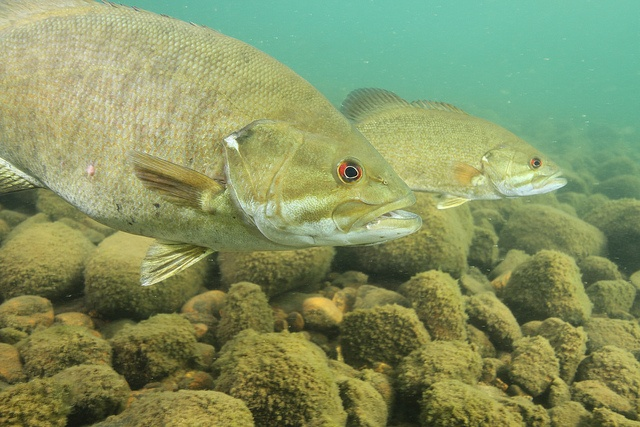 how to tell if a bass is smallmouth