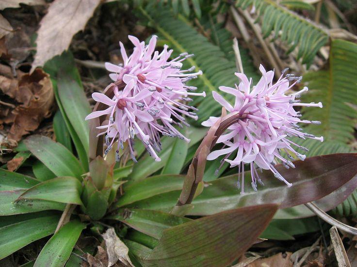 Heloniopsis orientalis (ショウジョウバカマ)