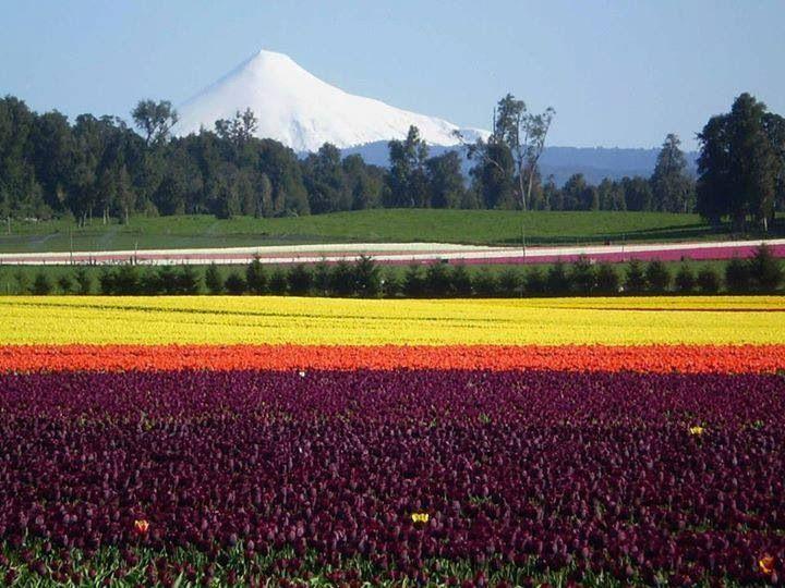 Campo de Tulipanes, Chile