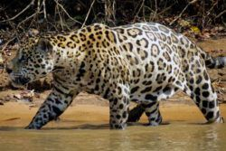 To see jaguars and exotic wildlife visit Brazil's Amazon and Pantanal