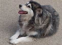 husky collie mix - this is what my Cassidy is.