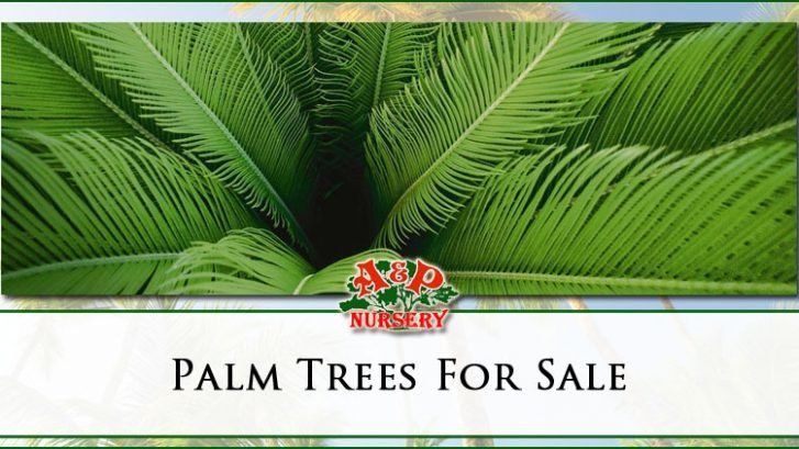 Palm trees for sale nursery mesa gilbert and queen