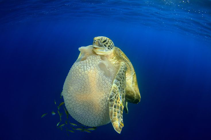 Turtle eating jellyfish by Richard Carey