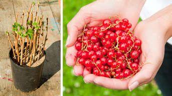 Viac ovocia, viac vitamínov: Rozmnožte si ríbezle či egreše už teraz