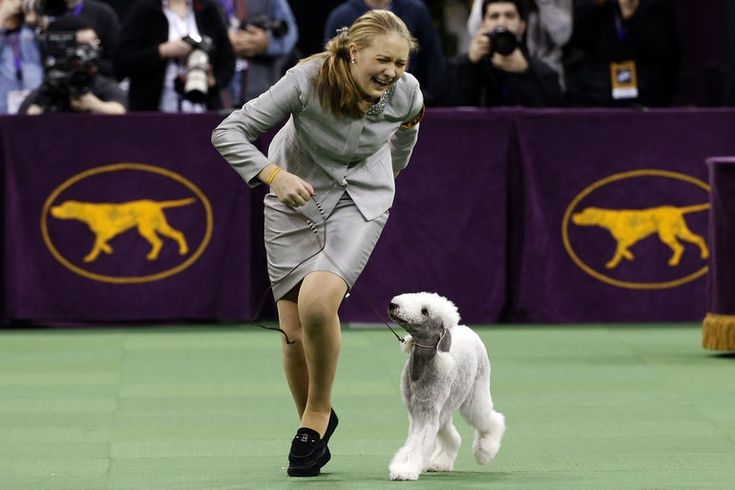 Lydia Frey from Virginia and Bedlington Terrier Let Them Eat Cake celebrate wining first place in the Junior Showmanship competition at the 139th Westminster Kennel Club Dog Show at Madison Square Garden in New York on Feb. 17, 2015. | www.petnook.in #petnook