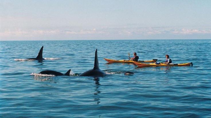 Kayaking with orca, Abel Tasman