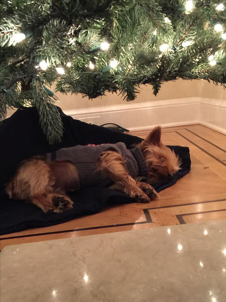 Kenie's favorite napping place during the holidays.