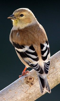 American Goldfinch in winter plumage...they molt twice a year