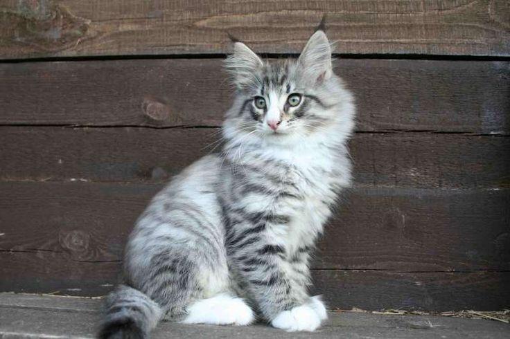 Норвежские лесные кошки, чистопородный норвежский котенок -ФИЛЯ (Philip North Cape*RU), NFO ns 09 24 (черное серебро с белым, табби пятно).