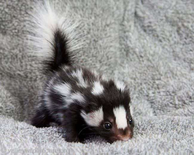When I lived in California I saw tons of Skunks, but NEVER one this CUTE!!!