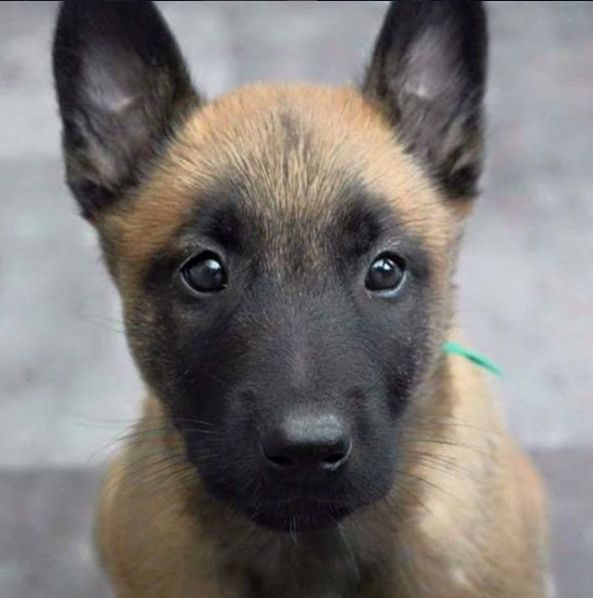 """My cute belgian malinois puppy"" by iergovic in aww"