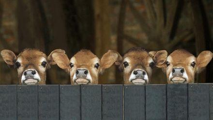 گوساله، حیوان، پستاندار، veal، animal, mammal