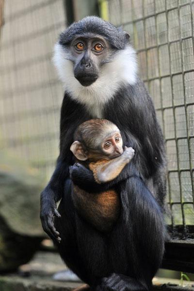 L'Hoest's monkeys at Edinburgh Zoo