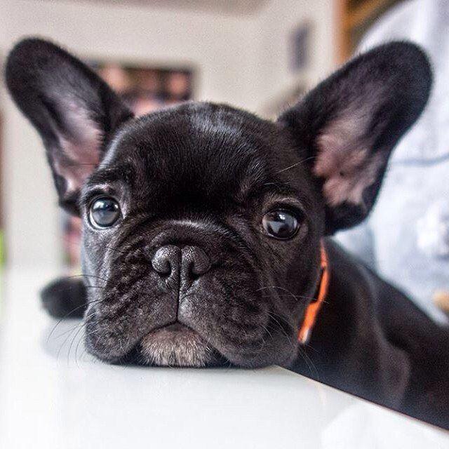 Nala, the French Bulldog