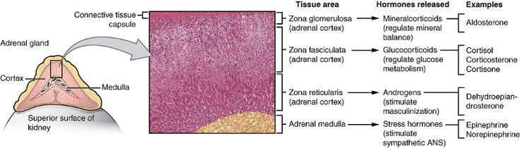The adrenal medulla is located below the zona reticularis.