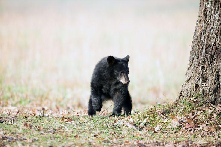 Smoky Mountain Black Bear Caught Climbing Down Gatlinburg Condo Building
