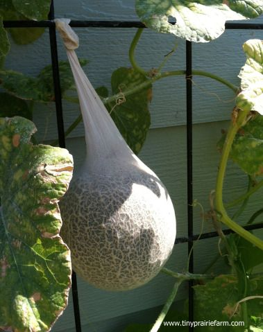 cantaloupe put in hose while small enables it to grow from the trellis