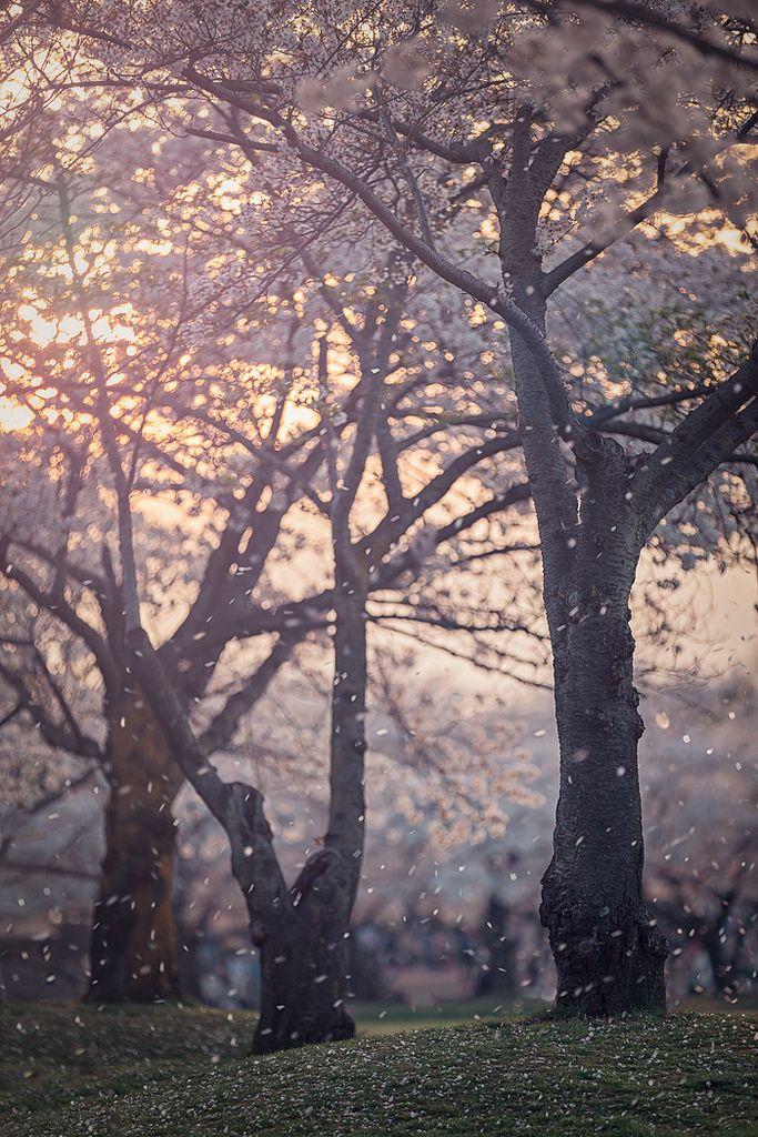 "refluent: "" Hanafubuki - Cherry blossom blizzard (by Rickuz) """