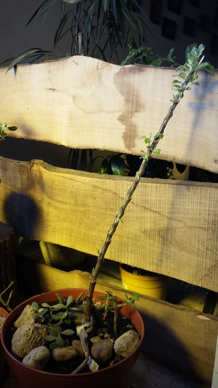 Indoor dwarf apple tree