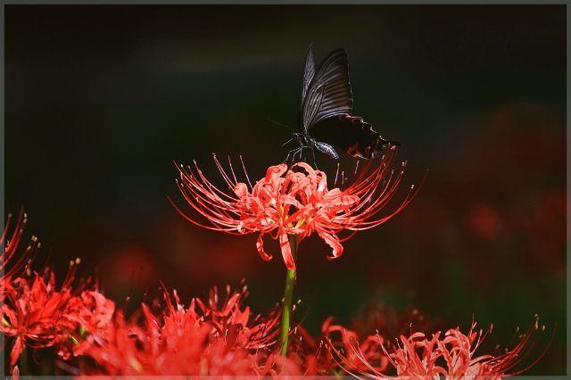 석사꽃 상사화 - 지옥