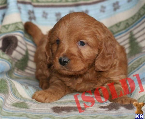 Indiana Goldendoodle Breeders With New Puppies For Sale