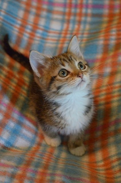 Tiny Baby Kitten! He looks like a tiger!