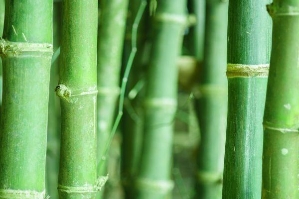 *bamboo