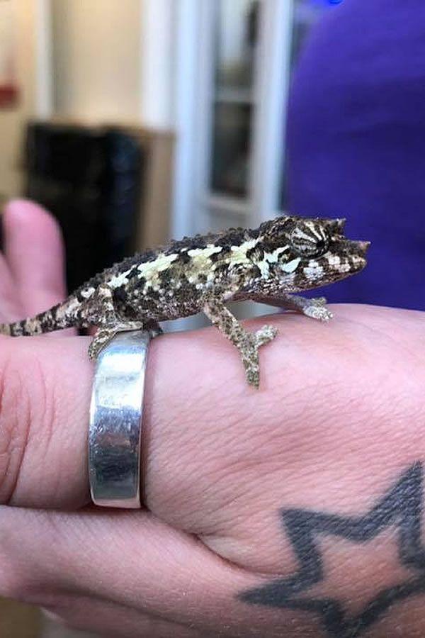 Baby Jackson S Chameleon Jackson Chameleon Chameleon Reptiles