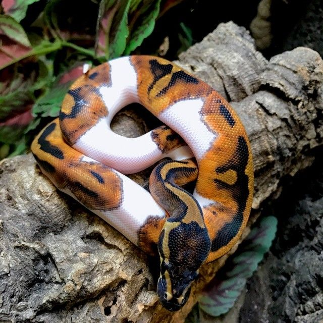 Exact Piebald Ball Python for sale PIE1 | Snakes | Ball