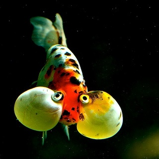 Bubble-eyed Goldfish by Chi Liu, via Flickr