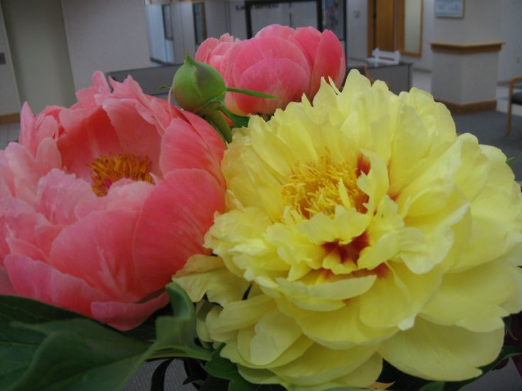 Bartzella is the yellow peony and  Coral Charm is the coral peony.  These are some of our favorites! ohmypeonies.com or follow us on facebook.com/ohmypeonies