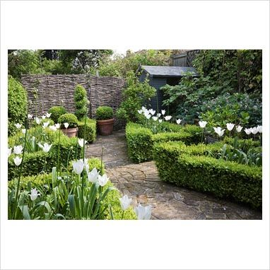 Small Buxus sempervirens - Box parterre in urban garden, filled with Tulipa 'White Triumphator' in spring. Brick-paved paths, pots of Buxus sempervirens balls and spiral topiary.  Painted shed and woven willow fence.