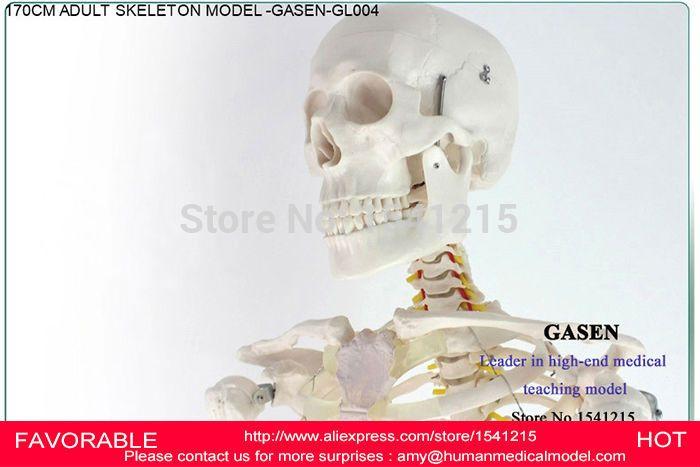 170CM HUMAN SKELETON MODEL  ANATOMICAL MEDICAL SKELETON MODEL  BODY MEDICAL  HUMAN SKELETON SKELETON SPECIMEN MODEL -GASEN-GL004