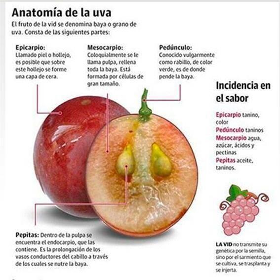 Anatomía de la #uva / Anatomy of the grape