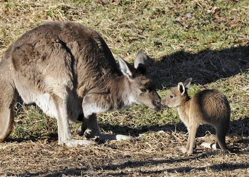 In this Jan. 9, 2013 photo provided by the Chicago Zoological Society, a nearly 11-month-old male kangaroo joey hangs out with his mother, Daisy, 7 1/2, at Brookfield Zoo's Australia House exhibit in Brookfield, Ill. The joey is one of two born in early 2012 that just recently began coming out of their mother's pouches to explore their surroundings. As he grows, he obviously will be too big to fit in the pouch but will still stick his head in to nurse until he is about 18 months of age. (AP…