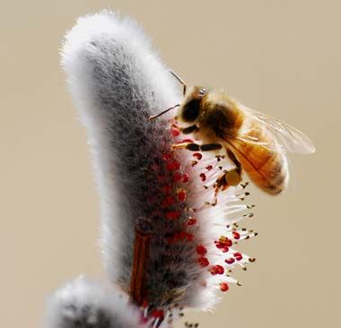 Photo of Honeybee on willow bloomCherries Blossoms, Living Honey, Bees Happy, Honeybee Geek, Bees Pollination, Agriculture Insects, Bees Honey Butterflies Birds, Chocolate Sweets, Honey Bees